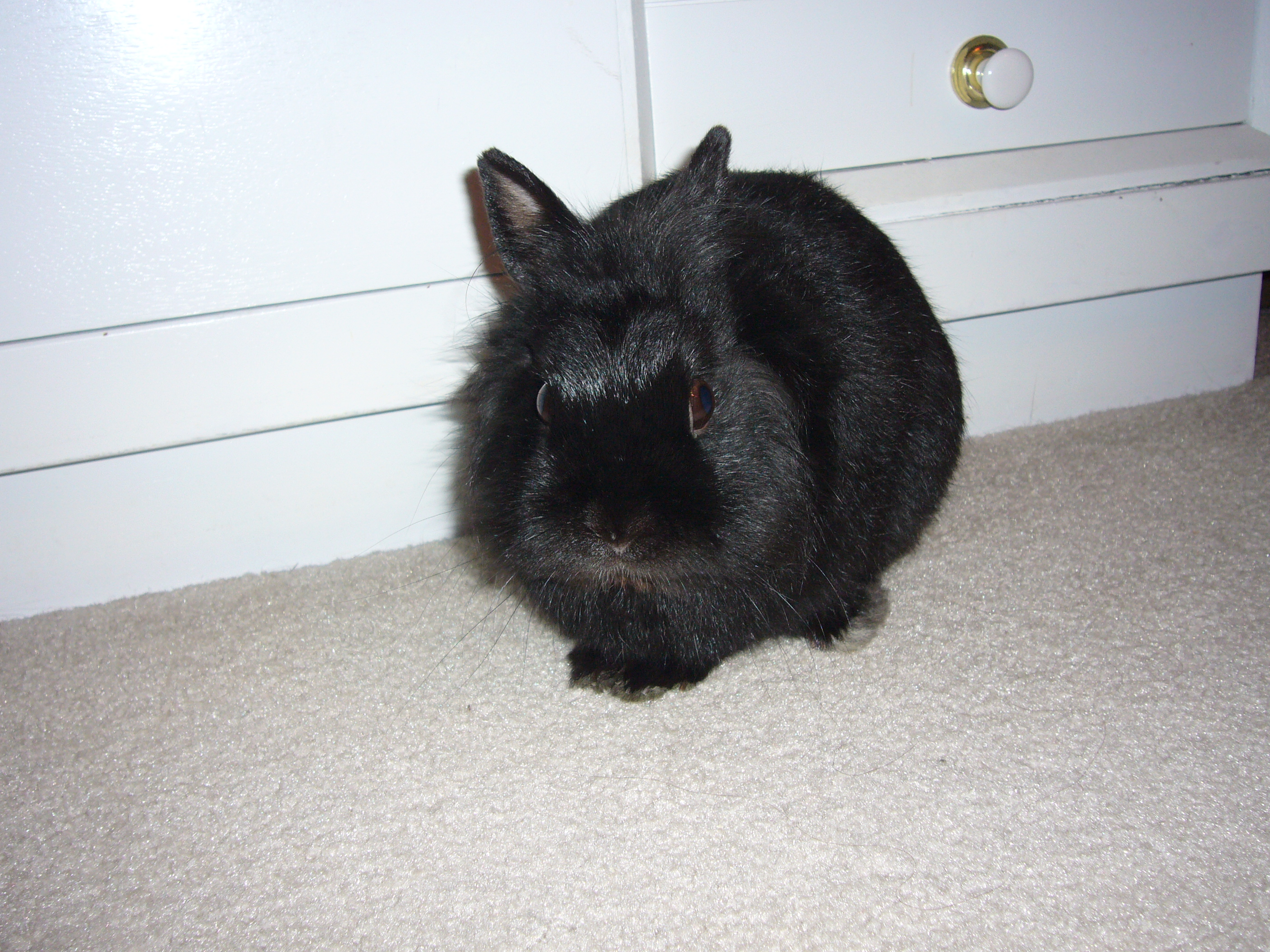 black bunny next to a white dresser