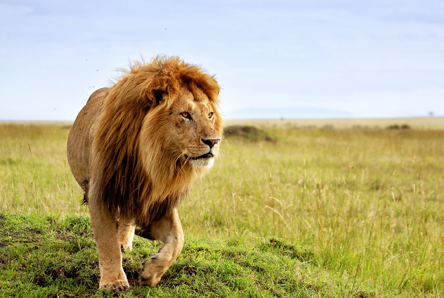 Kenya lion walking