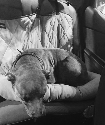 dog in car cuddler